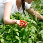 Hand Picked Cherry tomatoes and basil for Culinary retreats
